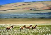 北方的空地:羌塘草原旅行攻略