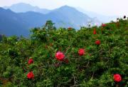 【6.6 周六】玫瑰谷 18KM徒步穿越 赏高山野玫瑰 望京塔 I 狐狸旅行