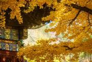 【10.27周日】休闲红螺寺 祈福赏银杏 京北第一古刹 I 狐狸旅行