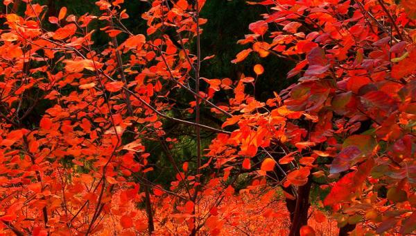 【11.3周日】标准版香八拉 徒步祈福赏红叶 好汉坡 翠微顶 I 狐狸旅行